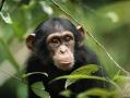 01-chimpanze