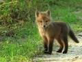 07-raposa