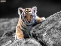 22-tigre