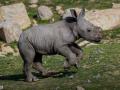 25-rinoceronte