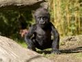 26-gorila