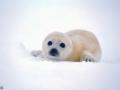 32-foca