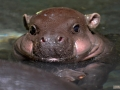 40-hipopotamo