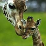 giraffebaby1