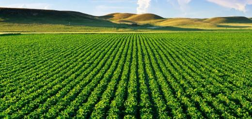 Sugarbeet Field