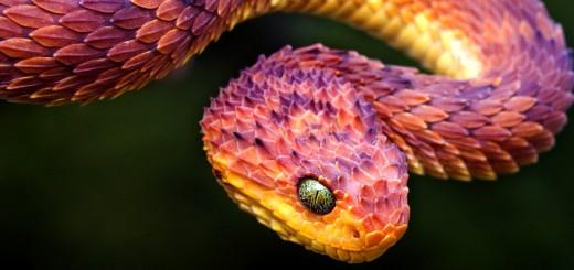 Red Viper Snake