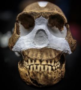 "Crânio reconstruído de ""Homo naledis""."