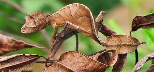 01_Lagartixa-satanica-rabo-de-folha_Uroplatus phantasticus